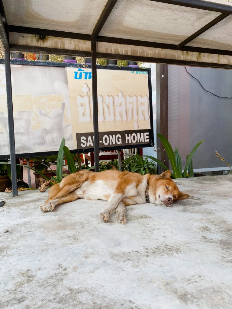 Thaimaan koira